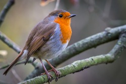 European Robin, more commonly known simply as a Robin, or Robin Redbreast. This one captured in a woodland environment, posing on top of a tree branch. Recently chosen as the UK's National Bird.