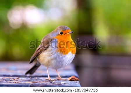European robin or erithacus rubecula robin posing at the edge of a table in a park Zdjęcia stock ©