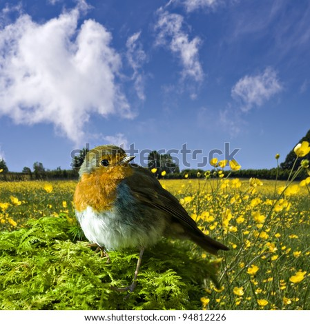 european robin or Erithacus rubecula with a summer meadow in the background