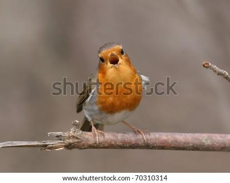 European robin, singing