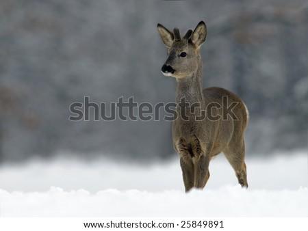 European Roe Deer (Capreolus capreolus)
