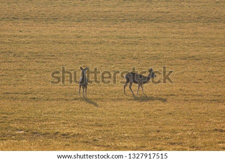 European roe deer, capreolus capreolus, male and female deer, standing on the pasture land or meadow in the early spring sunset during the golden hour, Picture taken in Czech republic, europe.