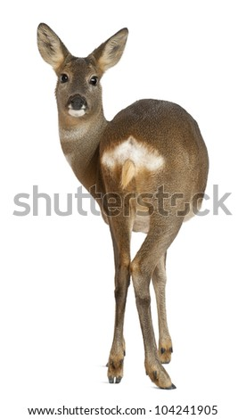 European Roe Deer, Capreolus capreolus, 3 years old, standing against white background - stock photo