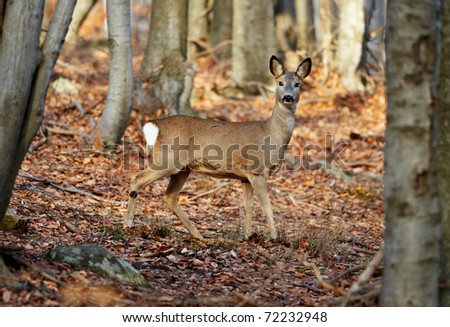 European roe deer female in beech forest