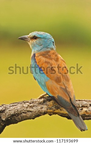 European roller on a  branch