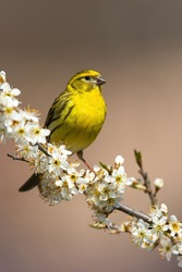 European serin, serinus serinus, male sitting on a blooming cherry twig in vertical composition. Wild bird with vivid yellow plumage resting on branch with flowers.