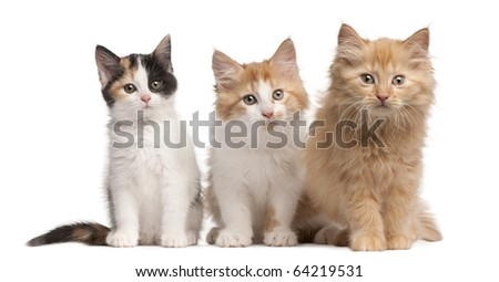 European Shorthair kittens, 10 weeks old, sitting in front of white background