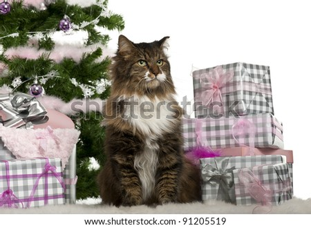 European Shorthair, 11 years old, sitting with Christmas tree and gifts in front of white background