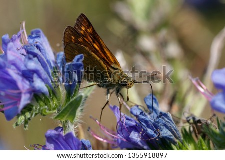 European skipper on a plant