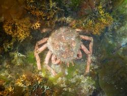 European Spider Crab, Maja squinado. Taken Isles of Scilly, England.