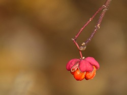 European spindle (Euonymus europaeus) - close up of a spindle branch with pink flower and orange fruit inside, Gdansk, Poland