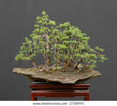 European spruce bonsai - stock photo