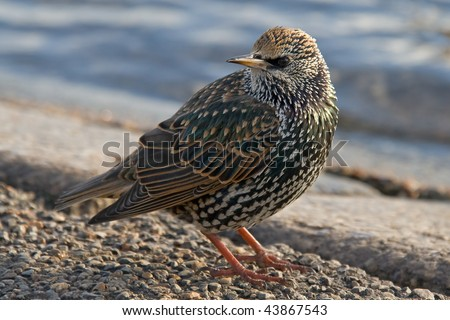 European Starling or Common Starling (Sturnus vulgaris)