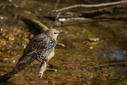 European Starling standing on a branch by the river. (Sturnus vulgaris)