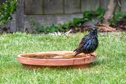 European starling, sturnus vulgaris, splashing and preening feathers in a bird bath