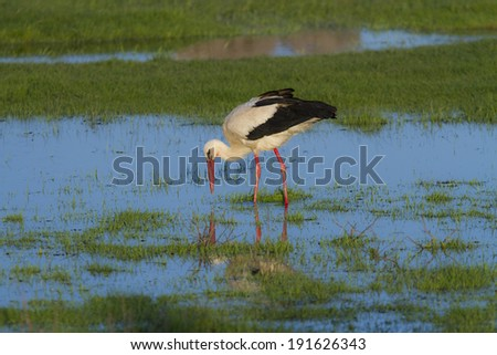 European stork, Ciconia, in natural environment, under warm evening light