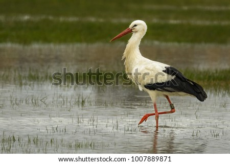 European stork wading through flooding looking for food #1007889871