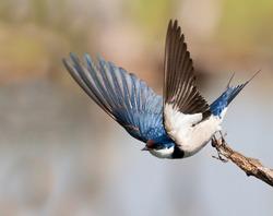European Swallow take off, lovely wingsup pose