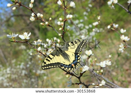 European swallowtail sitting on blossoming cherry bush in spring