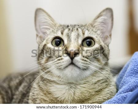 European tabby kitten #171900944