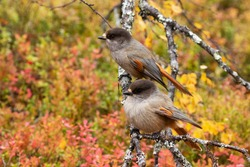 European taiga bird Siberian jay, Perisoreus infaustus, couple during autumn foliage in Valtavaara near Kuusamo, Northern Finland.