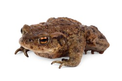 European toad, bufo bufo, in front of a white background.