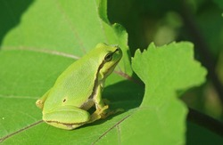 European tree frog (Hyla arborea) on a green leaf. Frog with a daring insect on its nose sunbathing on the banks of the Danube river in Romania.