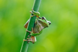 European tree frog, Hyla arborea, sitting on grass straw with clear green background. Nice green amphibian in nature habitat. Wild frog on meadow near the river.