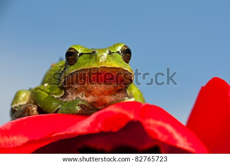 European tree frog sitting on the blossom of a red tulip