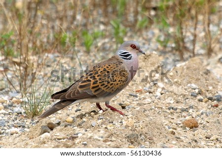 European Turtle dove, Streptopelia turtur