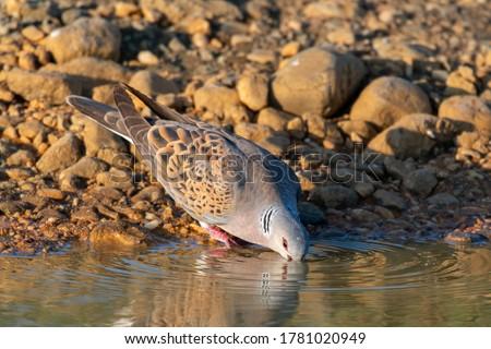 European Turtle dove, Streptopelia turtur drinks water. Zdjęcia stock ©