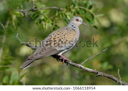 European Turtle Dove (Streptopelia turtur) - Pyrénées-Orientales, France Zdjęcia stock ©