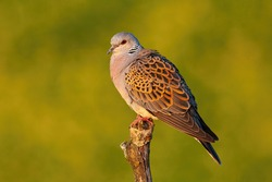 European turtle dove, streptopelia turtur, sitting perched on branch with blurred yellow background in summer at sunset. Side view of bird with grey and brown patterned feathers in nature.
