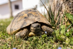 European type land tortoise. Female turtle in the garden. Reptile looking at the camera