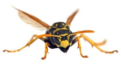 European wasp German wasp or German yellow jacket isolated on white background in latin Vespula germanica