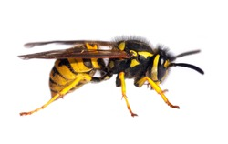 European wasp German wasp or German yellow jacket isolated on white background in latin Vespula Vulgaris or Germanica