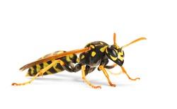 European wasp, Polistes associus, isolated on white background