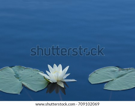 European white water lily (Nymphaea alba) floating on a serene blue lake