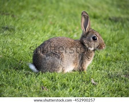 European wild rabbit in park