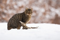 European wildcat, felis silvestris, sitting on meadow in winter nature. Brown stripped predator looking near the prey on snow. Predator hunting on snowy field.