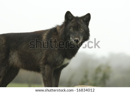 European Wolf - stock photo