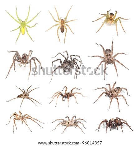 European Wolf spiders and Raft spiders isolated on white background