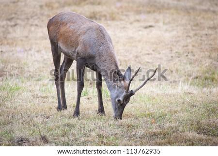 European young red deer (Cervus elaphus)
