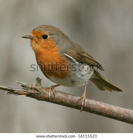 Europena robin, perched on a twig, close-up