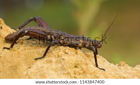 Eurycantha calcarata (common names thorny devil stick insect and giant spiny stick insect  is a species of phasmid endemic to Australasia.  #1143847400