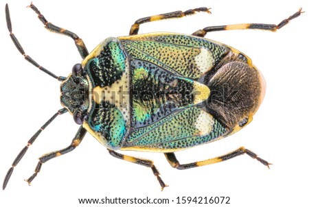 Eurydema oleracea is a species of shield bug in the family Pentatomidae and is commonly known as the rape bug or the brassica bug. Isolated shield bug on white background.