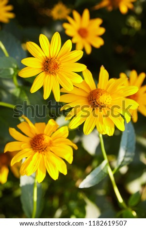 euryops chrysanthemoides, african bush daisy, bright daisy flowers on a bush in full bloom, petals and a yellow core, acute, growing in the garden,