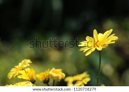 Euryops chrysanthemoides, African bush daisy, bull's-eye, Top view of bright yellow african bush daisy in the garden with dark green background