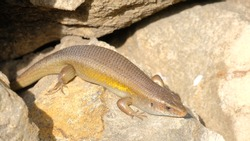 Eutropis multifasciata, four legged reptile commonly known as East Indian brown mabuya