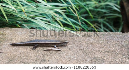 Eutropis multifasciata Skink or Common Sun Skink with growing tail on the garden floor ground. Skinks are lizards belonging to the family Scincidae. They are diurnal and bask on rock during the day.